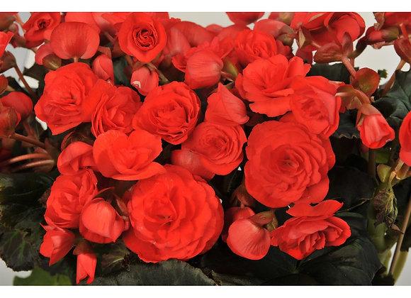 Begonia, Solenia Red