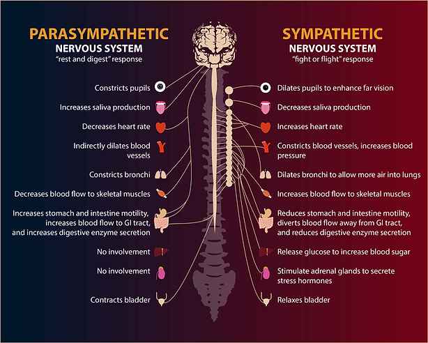 Autonomic Nervous Systen, ANS, Parasympathetic Nervous System, PNS, Sympathetic Nervous System, SNS, fight or flight, fight flight or freeze, rest and digest, body response