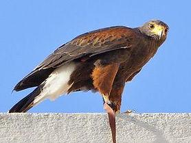 Harris' Hawk.jpg