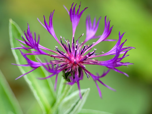 Centaurea achtarovii