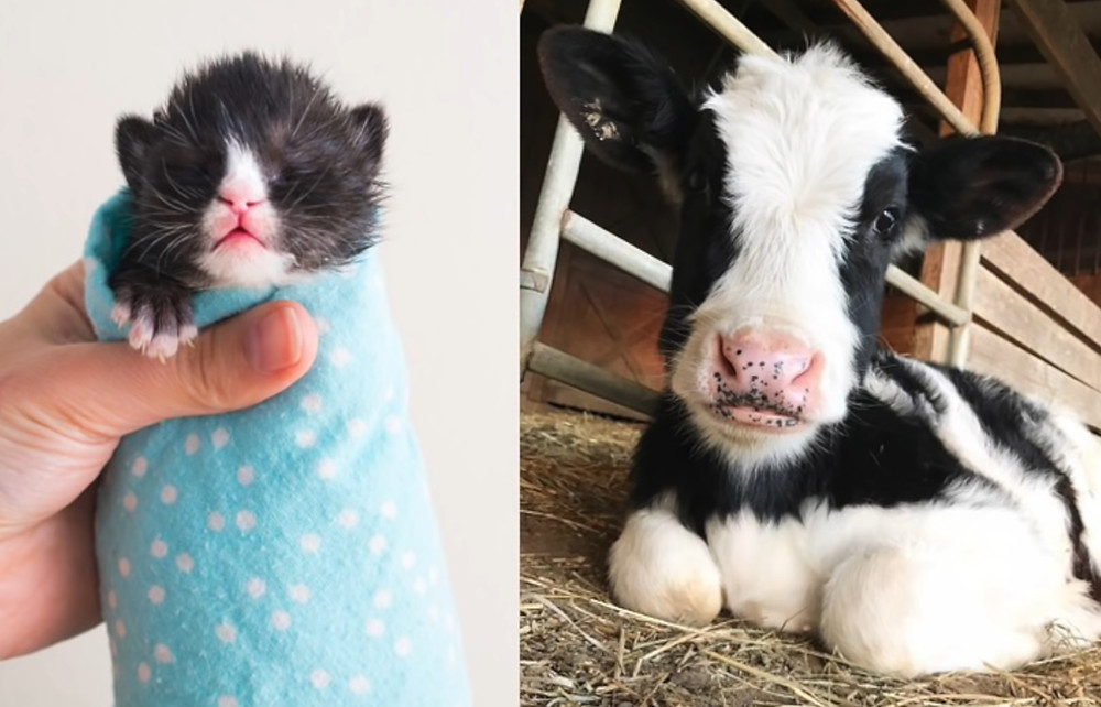Badger the Kitten and Chester the Calf, Both Rescued