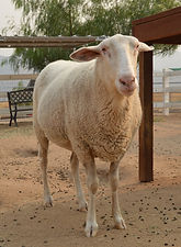 SHEEP_Steve.jpg