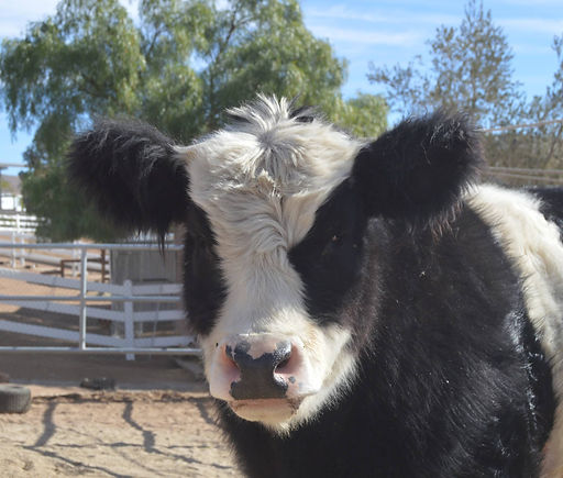 Frank Rescued Cows at Saving Grace Animal Sanctuary