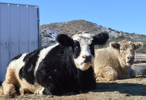 Frank & Gary, Rescued Cows at Saving Grace Animal Sanctuary