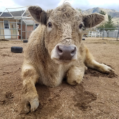 Sponsor Gary the Cow for 1 Month