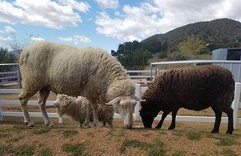 SHEEP_Stevie-Laurel-Vivien.jpg