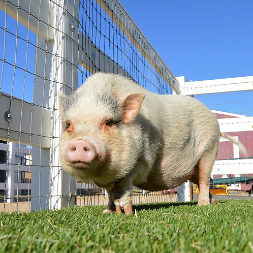 Sponsor Charlotte the Pig for 1 Month