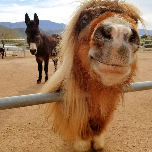 Sponsor Cloud the Mini Horse for 1 Month
