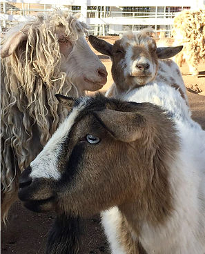 Rescued Goats