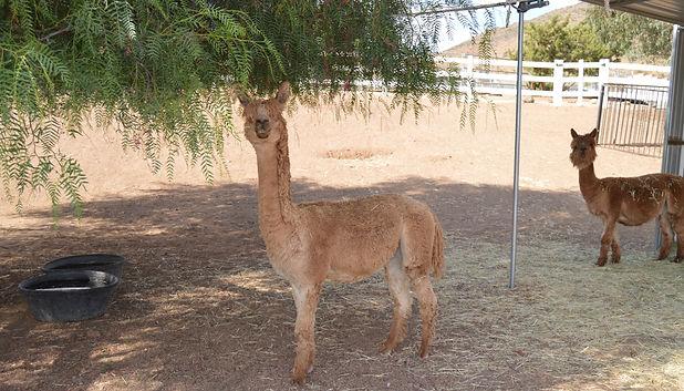 Apollo, the Shy but Sweet Recued Alpaca