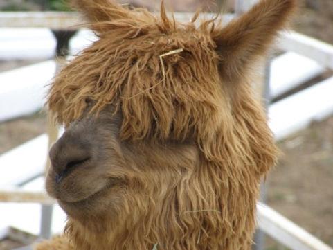 Wuzbear a Rescued Alpaca at Saving Grace Animal Sanctuary