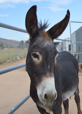Gus, the Rescued Donkey at Saving Grace Animal Sanctuary in Acton California