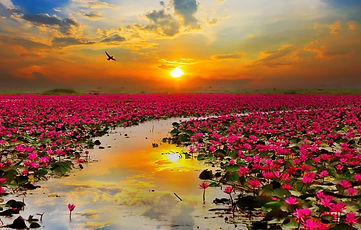 lotosy-prud-zakat.jpg