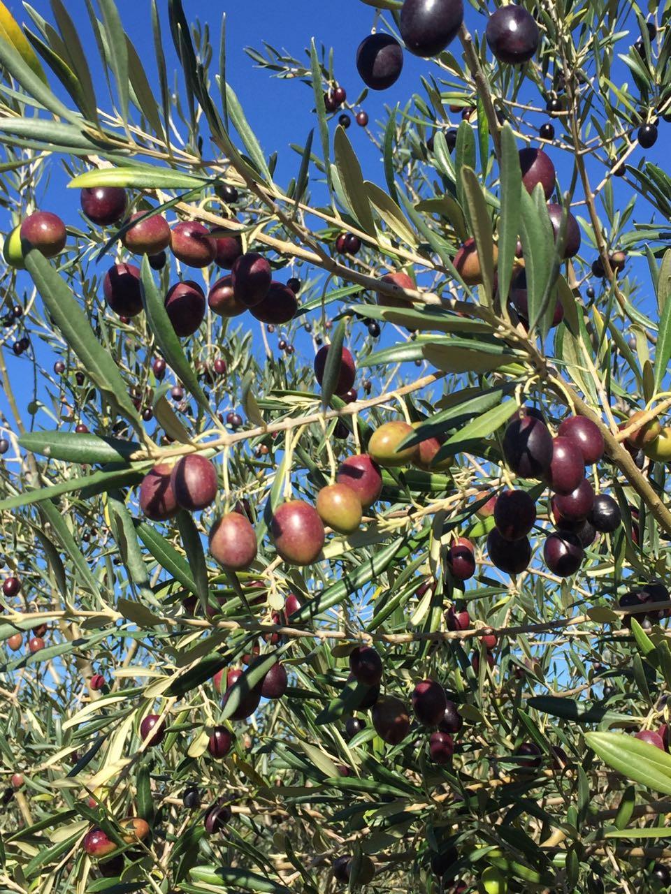 Azeitonas em pomar no Brasil. Fonte: própria.