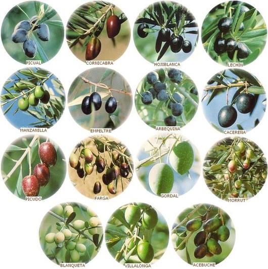 Tipos de azeitonas