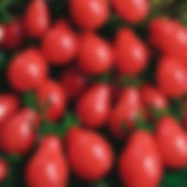 Gum_Drop_Tomato_Seeds.jpg
