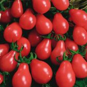 Gum_Drop_Tomato_Seeds.jpg