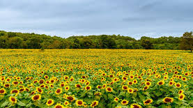 My Top 3 Favorite Places to See Sunflowers in NJ!