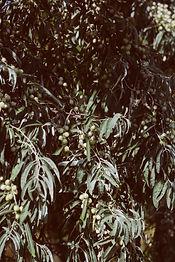 Olives Itinéraire de l'olivier Conférence