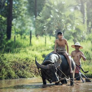water-buffalo-1807517_1920.jpg