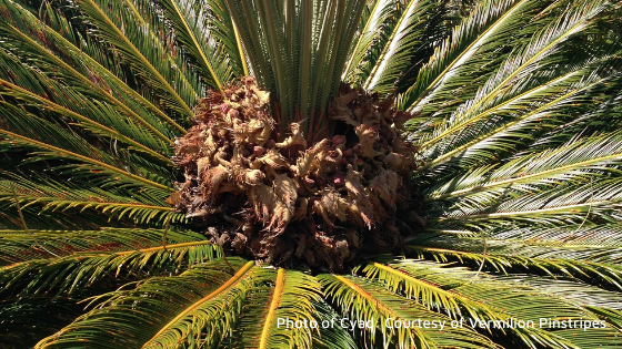 Cyads may be protected by Australian law. Cyad photo by Vermilion Pinstripes