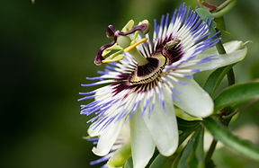 Close-up of the flower of Passiflora edu