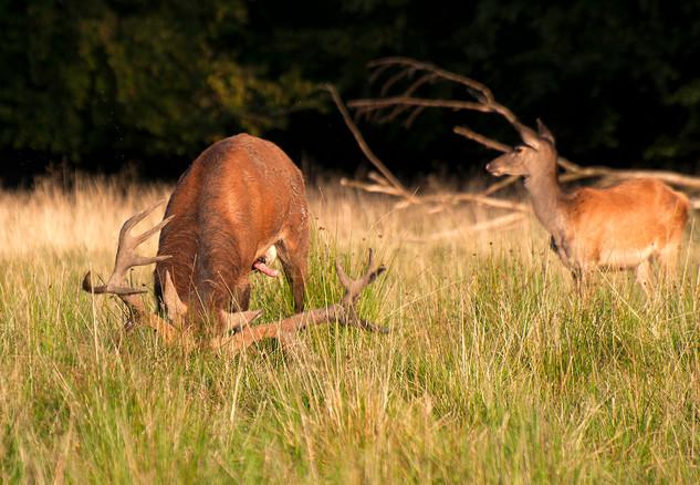 Red deer marking it's territory