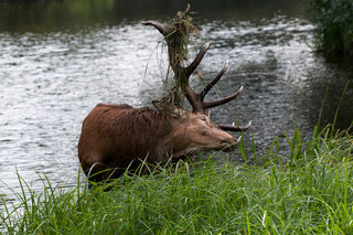 Red deer in lake
