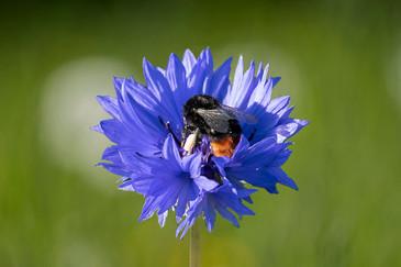 Bee sucking dandelion