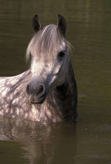 Arab horse in lake
