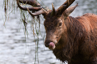 Red deer stag hungry