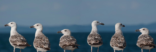 Seagulls conference