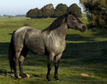 Criollo stallion