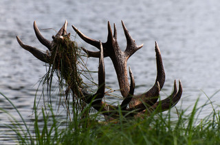Red deer antlers in lake