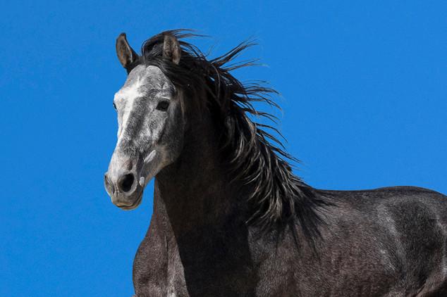 Pura raza Española stallion