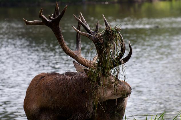 Red deer stag at lake