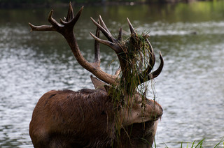 Red deer stag at lake