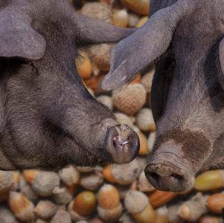 Well fed Iberian pigs