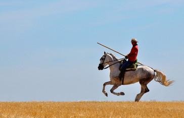 Moving cattle on Pura raza Española stallion