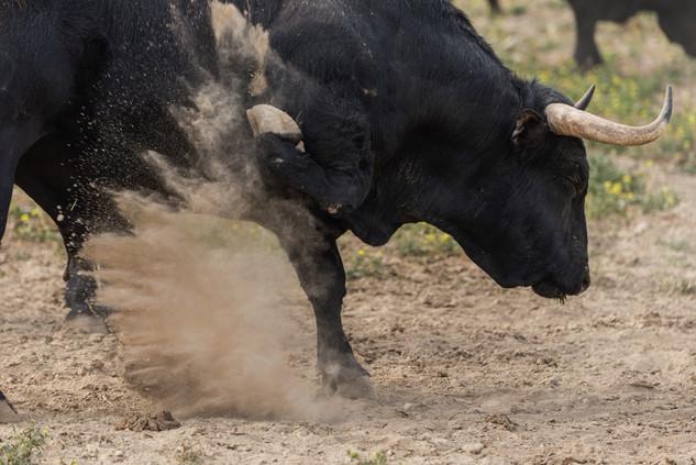 Toro bravo warning the photographer