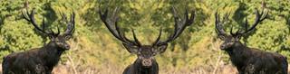 Red deer composite