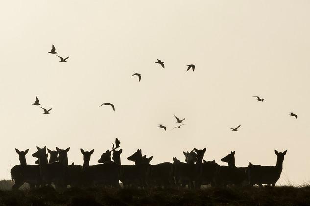 Fallow deers and birds