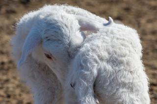 Shy baby lamb