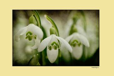 Snowdrops framed