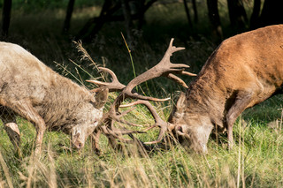 Stag fight