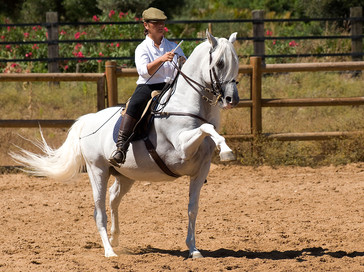 Pura raza Española stallion classic dressage