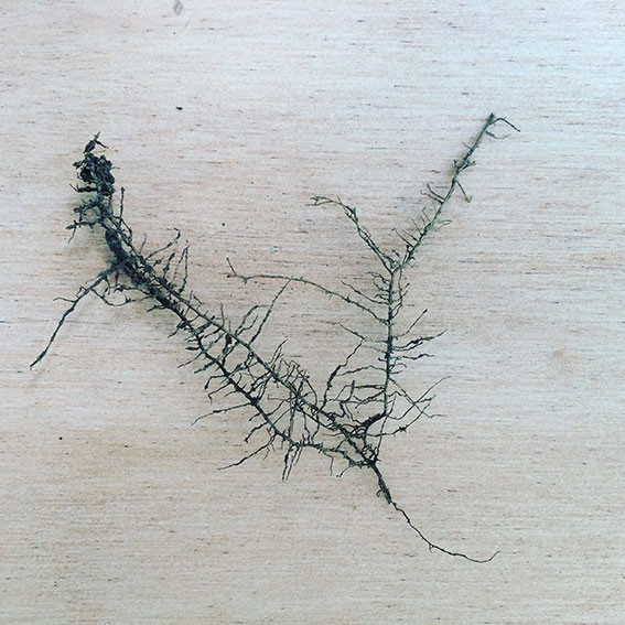 Fragmento de raíz