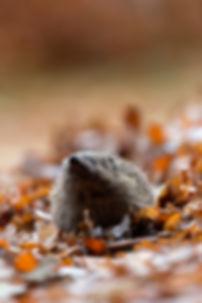 Egel in de herfst ; hedgehog in autumn