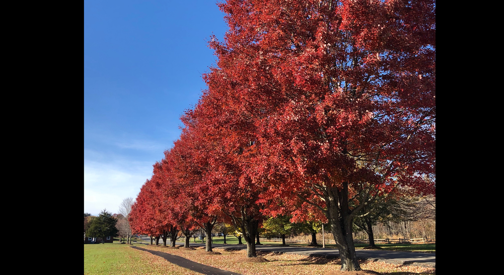 Fall Maples.tiff