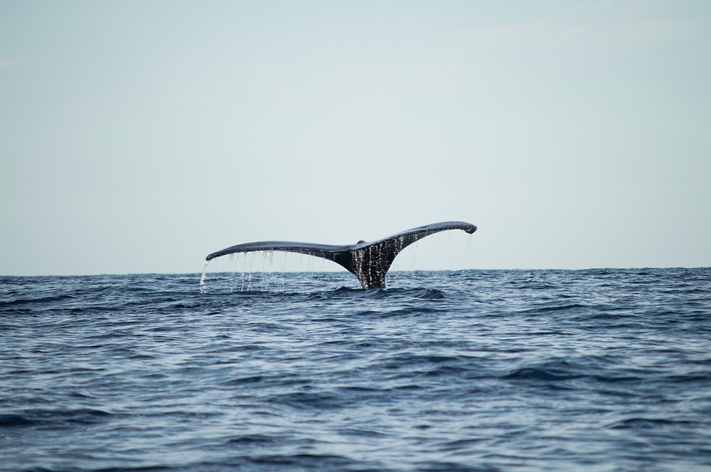 Northern Atlantic Right Whale fluke